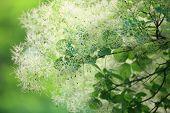 Green Flower Cotinus Coggygria Or Smoketree