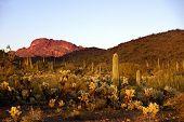 Arizona. Campo de cactus en buitre montañas cerca de Wickenburg.