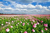 Creamy Pink Tulips On Dutch Field And Blue Sky