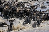 picture of wildebeest  - Herd of Wildebeest crossing the Mara river - JPG
