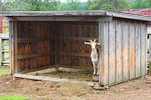 foto of billy goat  - Little goat hides in a shed - JPG