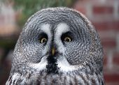 Portrait Of Great Grey Owl - Strix Nebulosa