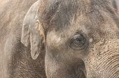 stock photo of clos  - Clos up portrait of aging  asian elephant - JPG