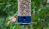 Young Cardinal At Bird Feeder