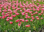 Pink Tulips In A Flowerbed