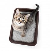stock photo of urinate  - kitten or cat in toilet tray box with absorbent litter isolated top view - JPG