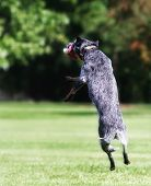 picture of cattle dog  - a cute dog at a local public park - JPG