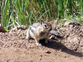 Mountain Mouse