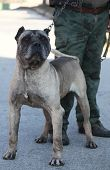 picture of pitbull  - man hold big old pitbull guarding on dirt road  - JPG