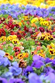 Colorful Pansy Flowers on Flower Bed