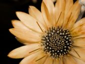 stock photo of transpiration  - sepia flower against a dark background - JPG