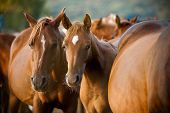 stock photo of feeding horse  - arabian horses herd in a stud closeup - JPG