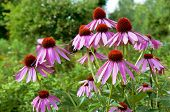 picture of spike  - Close up of pink Echinacea flowers on nature green background selective focus horizontal - JPG