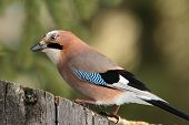Curious Jay Looking For Food On A Stump