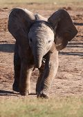 foto of elephant ear  - Playing African elephant running with it