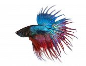 foto of siamese fighting fish  - Side view of a Siamese fighting fish - JPG