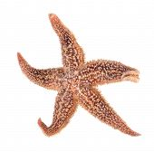 starfish isolated on white. Asteroidea sea star