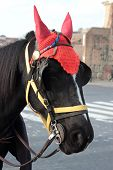 stock photo of workhorses  - a black  draft horse with red hat - JPG