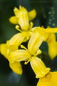 Yellow Iris At The Waterside In Summer