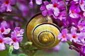 stock photo of butterfly-bush  - Close up snail on pink butterfly bush flowers - JPG