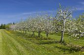 Beautiful white blossom of apple trees in a farm commercial apple orchard in springtime.