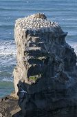 picture of gannet  - A view on Muriwai beach with the Gannet colony - JPG