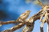 Young Cape Sparrow (passer Melanurus)