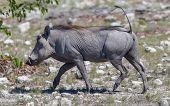Warthog Walking In Etosha National Park