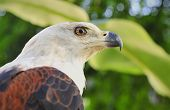 pic of fish-eagle  - African Fish Eagle close in Africa daytime - JPG