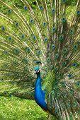 Peacock beackons peahen