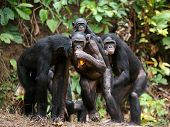 foto of chimp  - Portrait of family of a Chimpanzee bonobo  - JPG