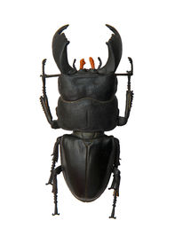 foto of mandible  - Beetle Dorcus titanus isolated on the white background - JPG
