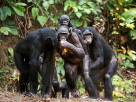 pic of chimp  - Portrait of family of a Chimpanzee bonobo  - JPG