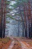 dirt road in misty pine forest