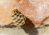 Honeycomb Wasp.
