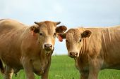 foto of moo-cow  - Two blonde cows stand in an open field looking straight ahead - JPG