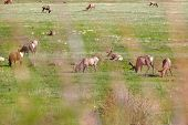 Elks on the meadow in the Rocky Mountain National Park, Colorado, USA