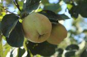picture of pubescent  - Two immature quinces  - JPG