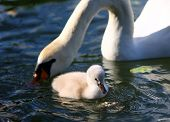 White Swan Cygnet With Mother In The Water