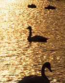Silhouette of swans in the sunset lake