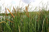 thickets of reeds