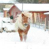 Gorgeous Shetland Pony With Long Mane In Winter