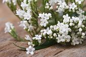 White Flowers Valeriana Officinalis Macro Horizontal