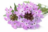 stock photo of lantana  - delicate purple flowers verbena isolated on white background closeup - JPG