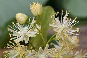 Yellow Linden Flowers With Buds Macro