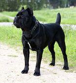 cane corso dog portrait