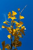 Ginkgo Leaves Branch
