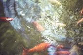 fish, group of orange carp in water