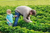 Father And Little Boy Of 3 Years On Organic Strawberry Farm In Summer