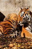 foto of tiger cub  - The tiger mum in the zoo with her tiger cub  - JPG